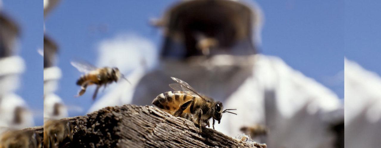 Captura, coleta e remoção de colmeias, abelhas e vespeiros